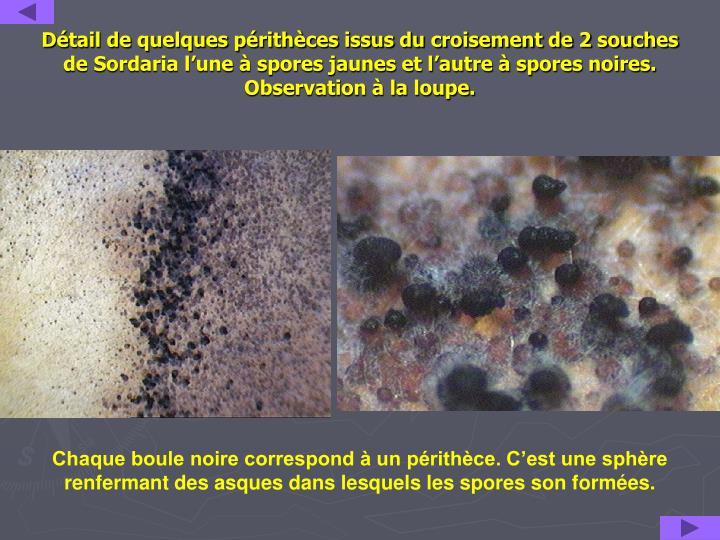 Détail de quelques périthèces issus du croisement de 2 souches de Sordaria l'une à spores jaunes et l'autre à spores noires.