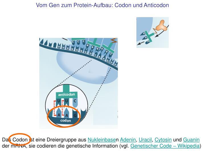Vom Gen zum Protein-Aufbau: Codon und Anticodon