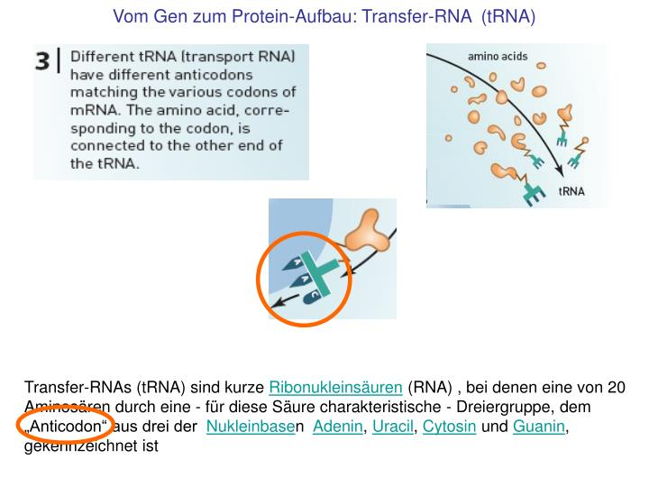 Vom Gen zum Protein-Aufbau: Transfer-RNA  (tRNA)