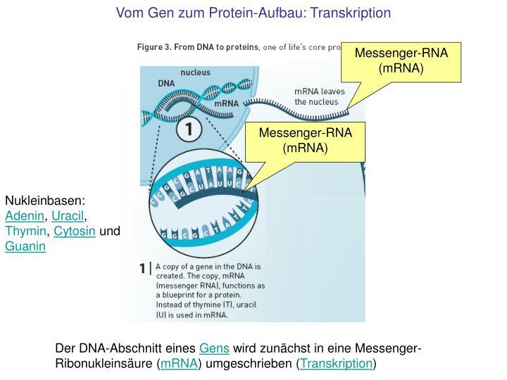 Vom Gen zum Protein-Aufbau: Transkription