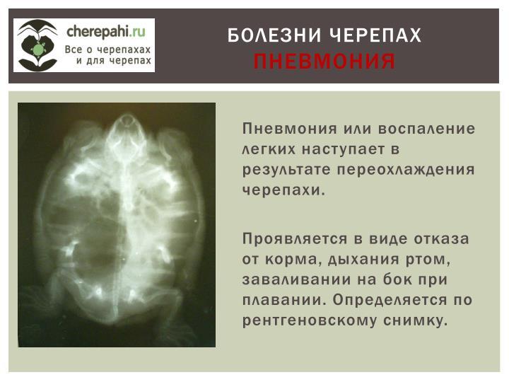 Пневмония или воспаление легких наступает в результате переохлаждения черепахи.