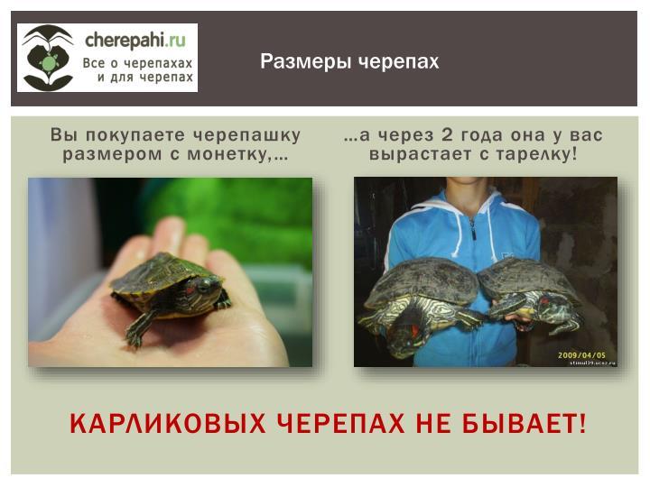 Карликовых черепах не бывает!