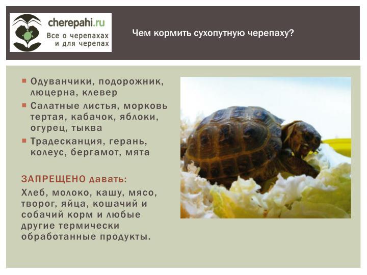 Чем кормить сухопутную черепаху?