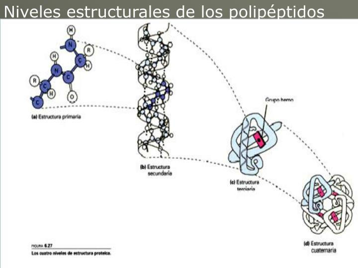 Niveles estructurales de los polipéptidos