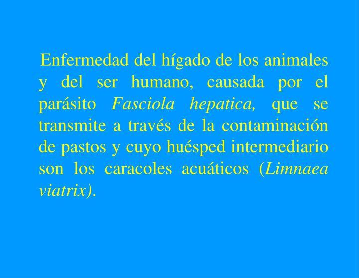 Enfermedad del hígado de los animales y del ser humano, causada por el parásito
