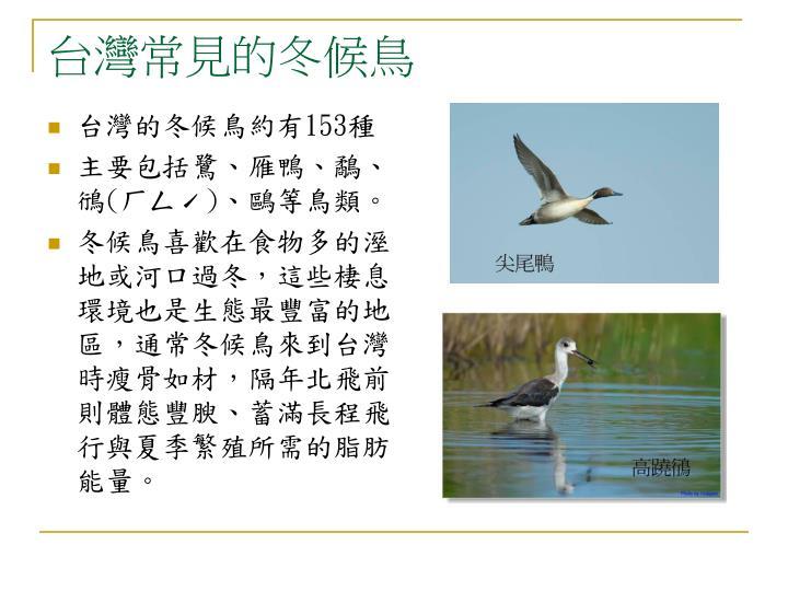 台灣常見的冬候鳥