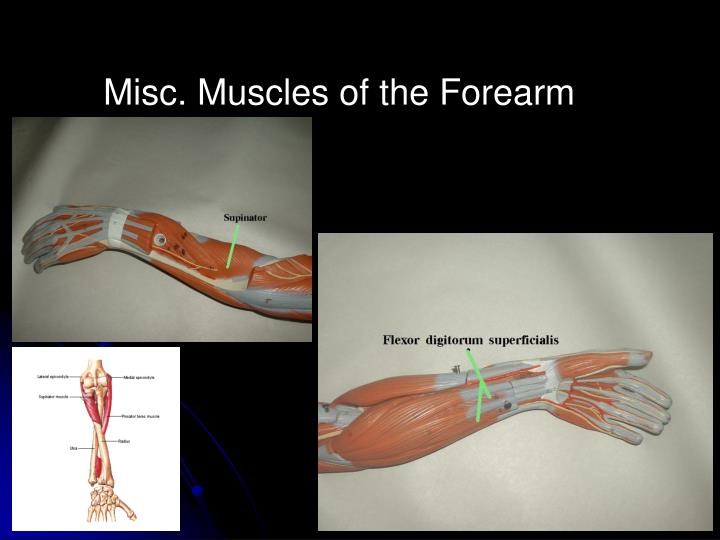 Misc. Muscles of the Forearm