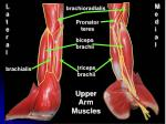 upper arm muscles