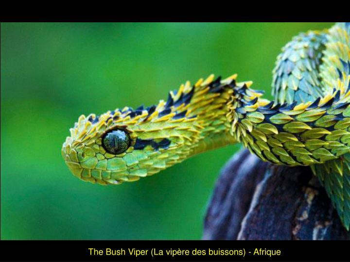 The Bush Viper (La vipère des buissons) - Afrique