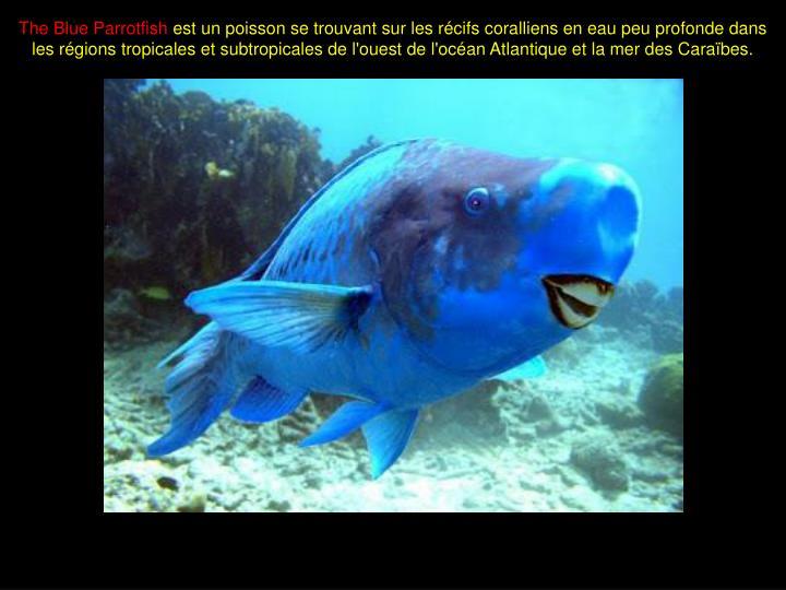 The Blue Parrotfish