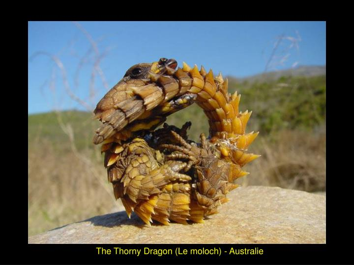 The Thorny Dragon (Le moloch) - Australie