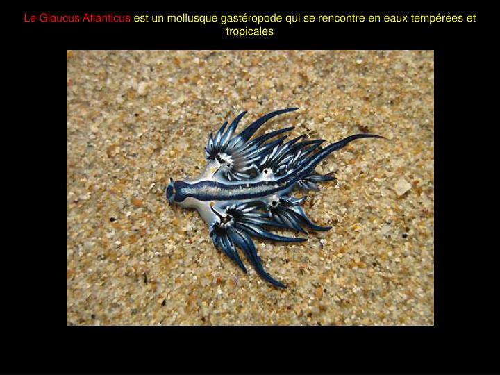 Le Glaucus Atlanticus
