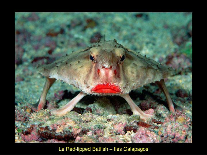 Le Red-lipped Batfish – Iles Galapagos