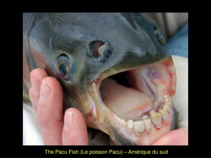 The Pacu Fish (Le poisson Pacu) – Amérique du sud