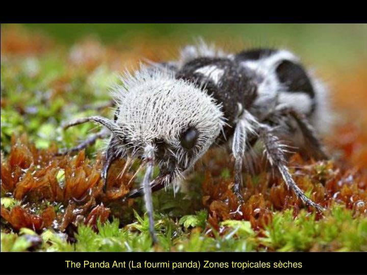 The Panda Ant (La fourmi panda) Zones tropicales sèches
