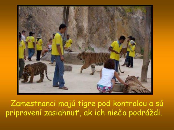 Zamestnanci majú tigre pod kontrolou a sú pripravení zasiahnuť, ak ich niečo podráždi.