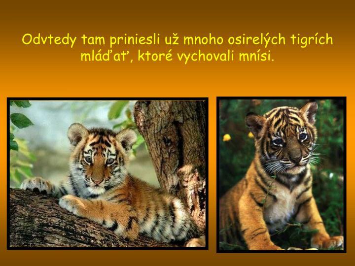 Odvtedy tam priniesli už mnoho osirelých tigrích mláďať, ktoré vychovali mnísi.