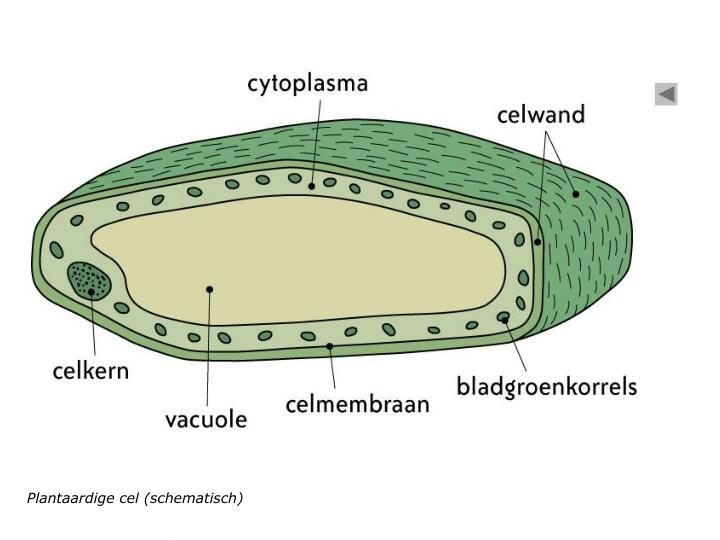 Plantaardige cel (schematisch)