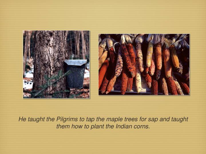He taught the Pilgrims to tap the maple trees for sap and taught them how to plant the Indian corns.