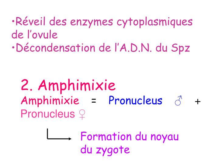 Réveil des enzymes cytoplasmiques de l'ovule