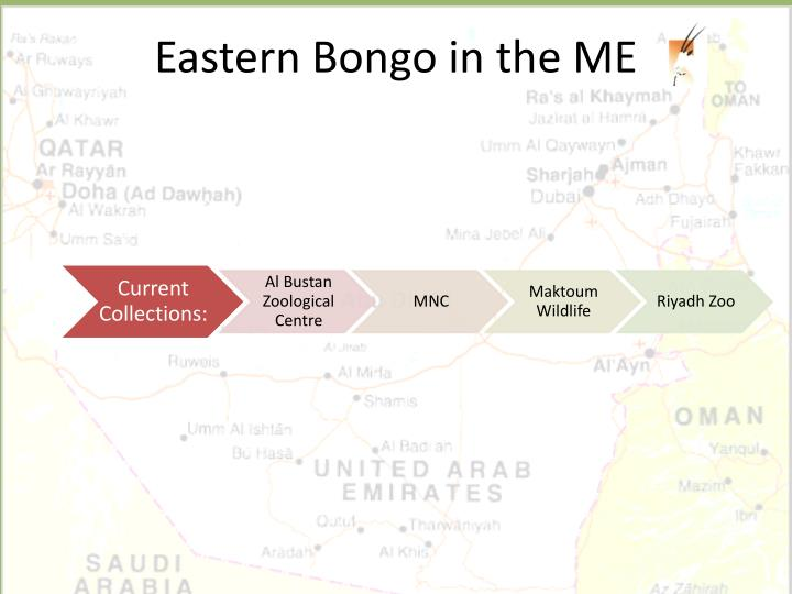 Eastern Bongo in the ME