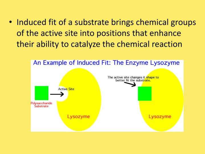 Induced fit of a substrate brings chemical groups of the active site into positions that enhance their ability to catalyze the chemical reaction