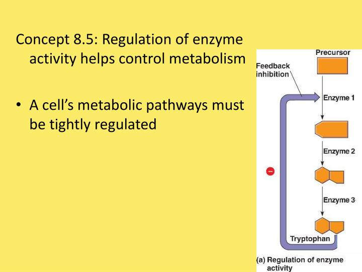 Concept 8.5: Regulation of enzyme activity helps control metabolism