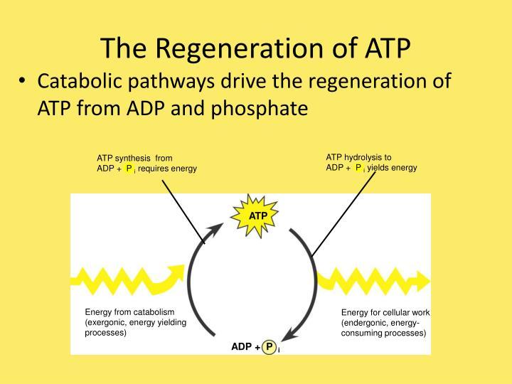ATP hydrolysis to