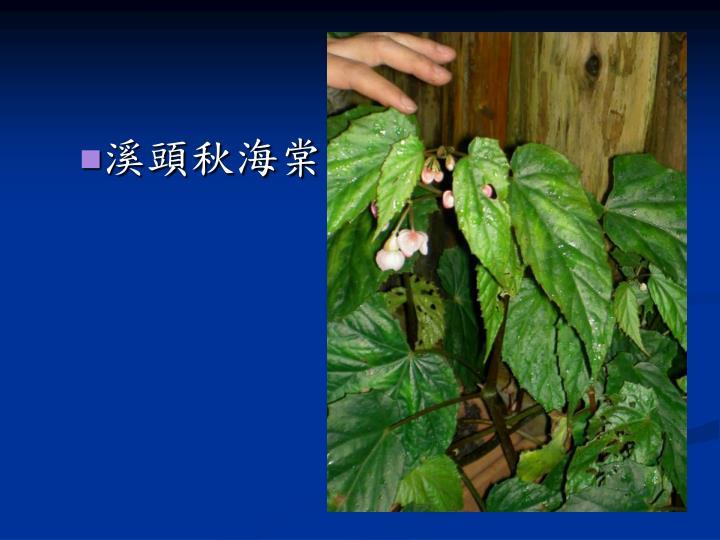 溪頭秋海棠