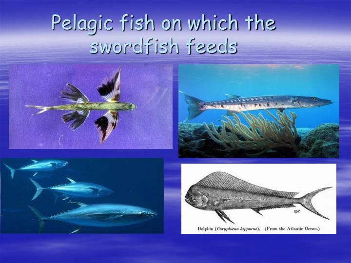 pelagic fish and swordfish Fish such as albacore, bigeye tuna, striped marlin and swordfish, prefer cooler, more temperate waters, often meaning higher latitudes or greater depths preferred water temperature often varies with the size of the fish.