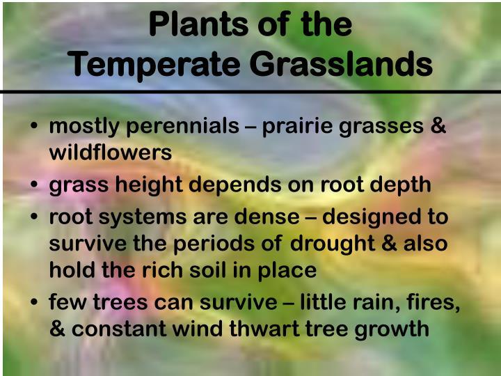mostly perennials – prairie grasses & wildflowers