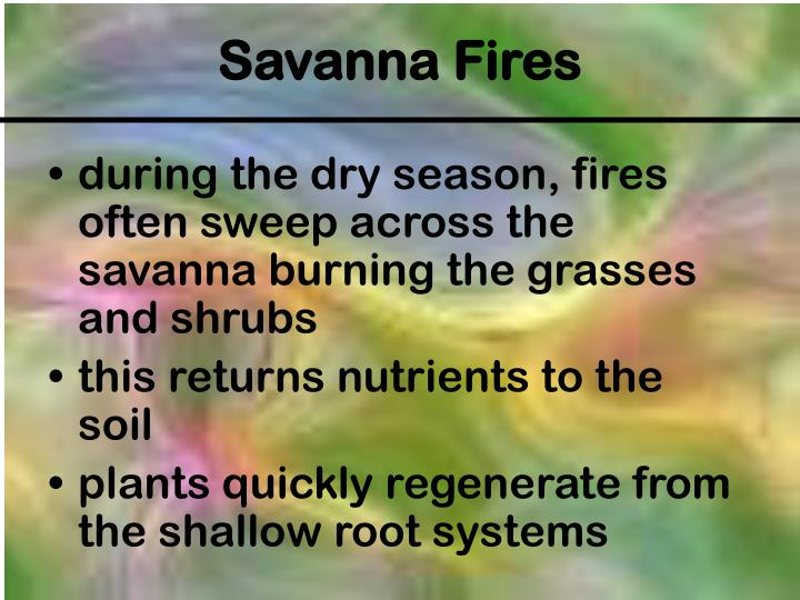 during the dry season, fires often sweep across the savanna burning the grasses and shrubs