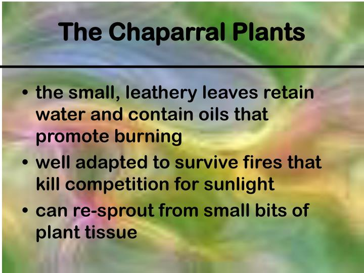 the small, leathery leaves retain water and contain oils that promote burning