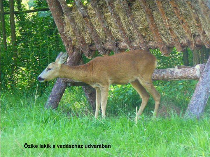 Őzike lakik a vadászház udvarában