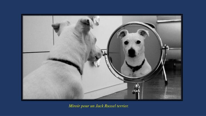 Miroir pour un Jack Russel terrier.