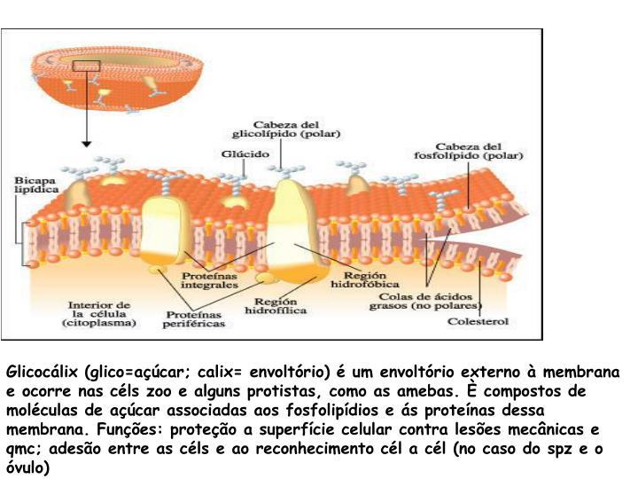 Glicocálix (glico=açúcar; calix= envoltório) é um envoltório externo à membrana e ocorre nas céls zoo e alguns protistas, como as amebas. È compostos de moléculas de açúcar associadas aos fosfolipídios e ás proteínas dessa membrana. Funções: proteção a superfície celular contra lesões mecânicas e qmc; adesão entre as céls e ao reconhecimento cél a cél (no caso do spz e o óvulo)