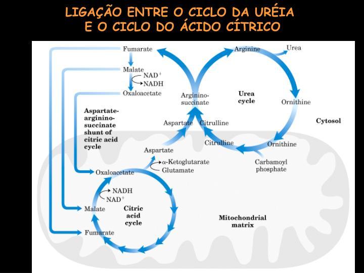 LIGAÇÃO ENTRE O CICLO DA URÉIA