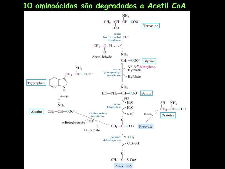 10 aminoácidos são degradados a Acetil CoA