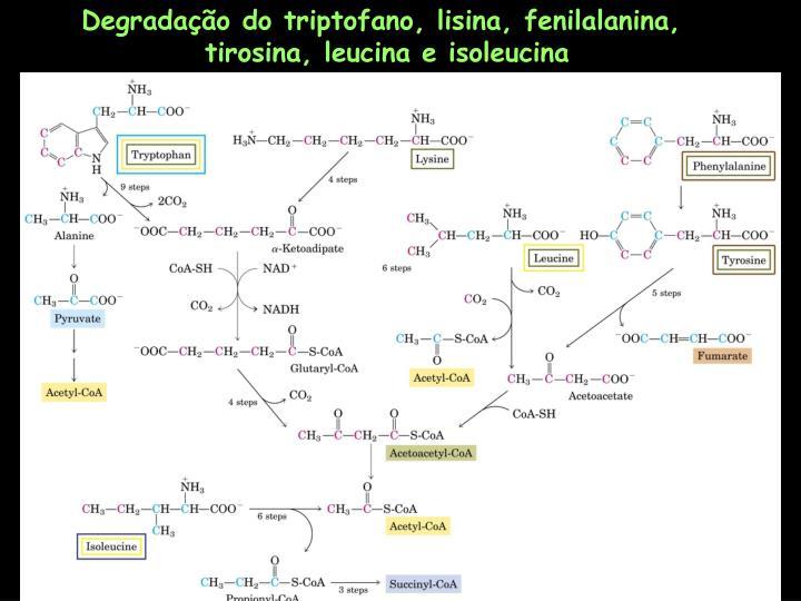 Degradação do triptofano, lisina, fenilalanina,