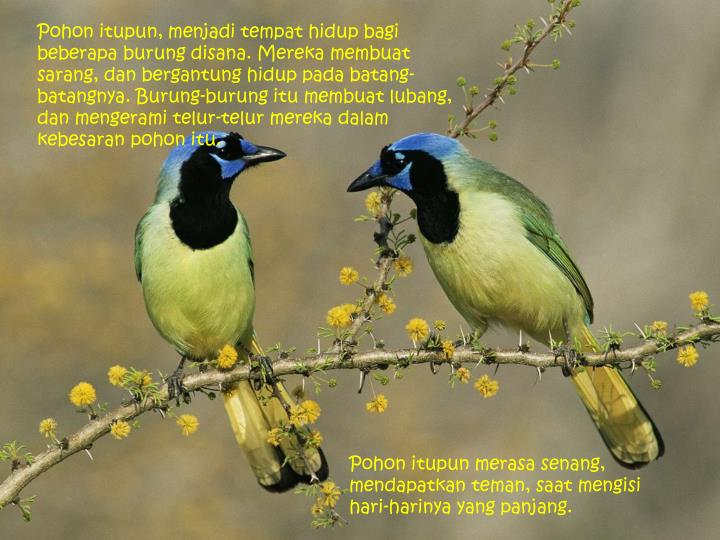 Pohon itupun, menjadi tempat hidup bagi beberapa burung disana. Mereka membuat sarang, dan bergantung hidup pada batang-batangnya. Burung-burung itu membuat lubang, dan mengerami telur-telur mereka dalam kebesaran pohon itu.