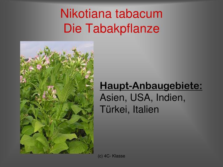 Nikotiana tabacum die tabakpflanze