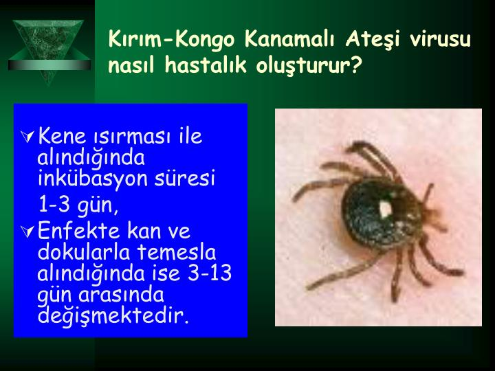 Krm-Kongo Kanamal Atei virusu nasl hastalk oluturur?