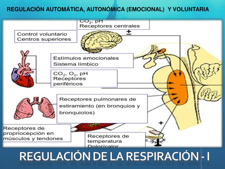 REGULACIÓN AUTOMÁTICA, AUTONÓMICA (EMOCIONAL)  Y VOLUNTARIA