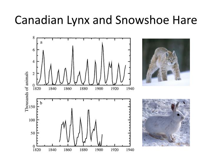 Canadian Lynx and
