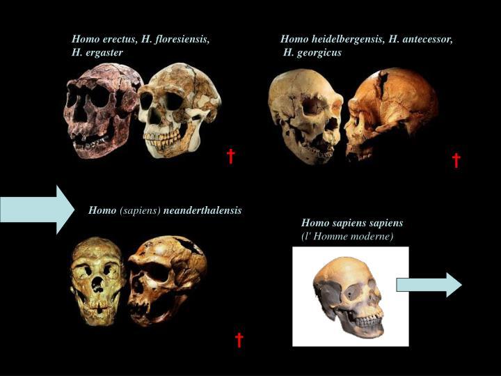 Homo erectus, H. floresiensis,