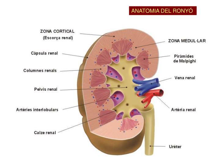 ANATOMIA DEL RONYÓ