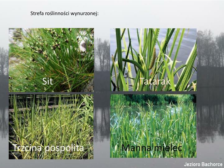 Strefa roślinności wynurzonej: