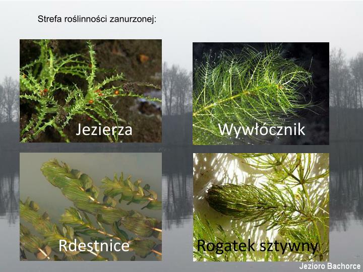 Strefa roślinności zanurzonej: