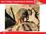 no 4 yellow footed rock wallaby