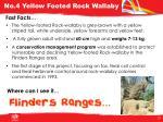 no 4 yellow footed rock wallaby1